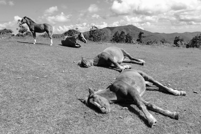 horses sleeping in herd