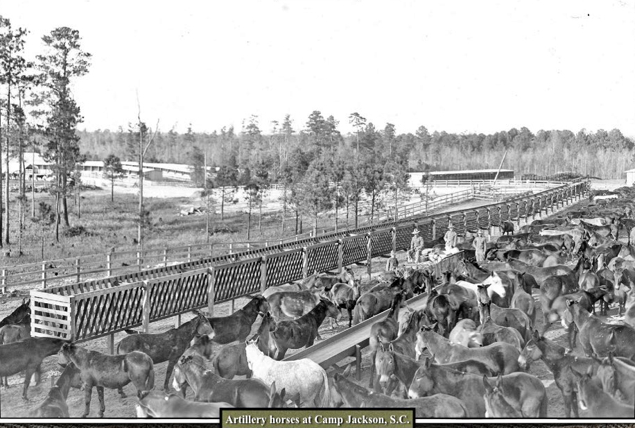 artillery horses and mules at Camp Jackson SC