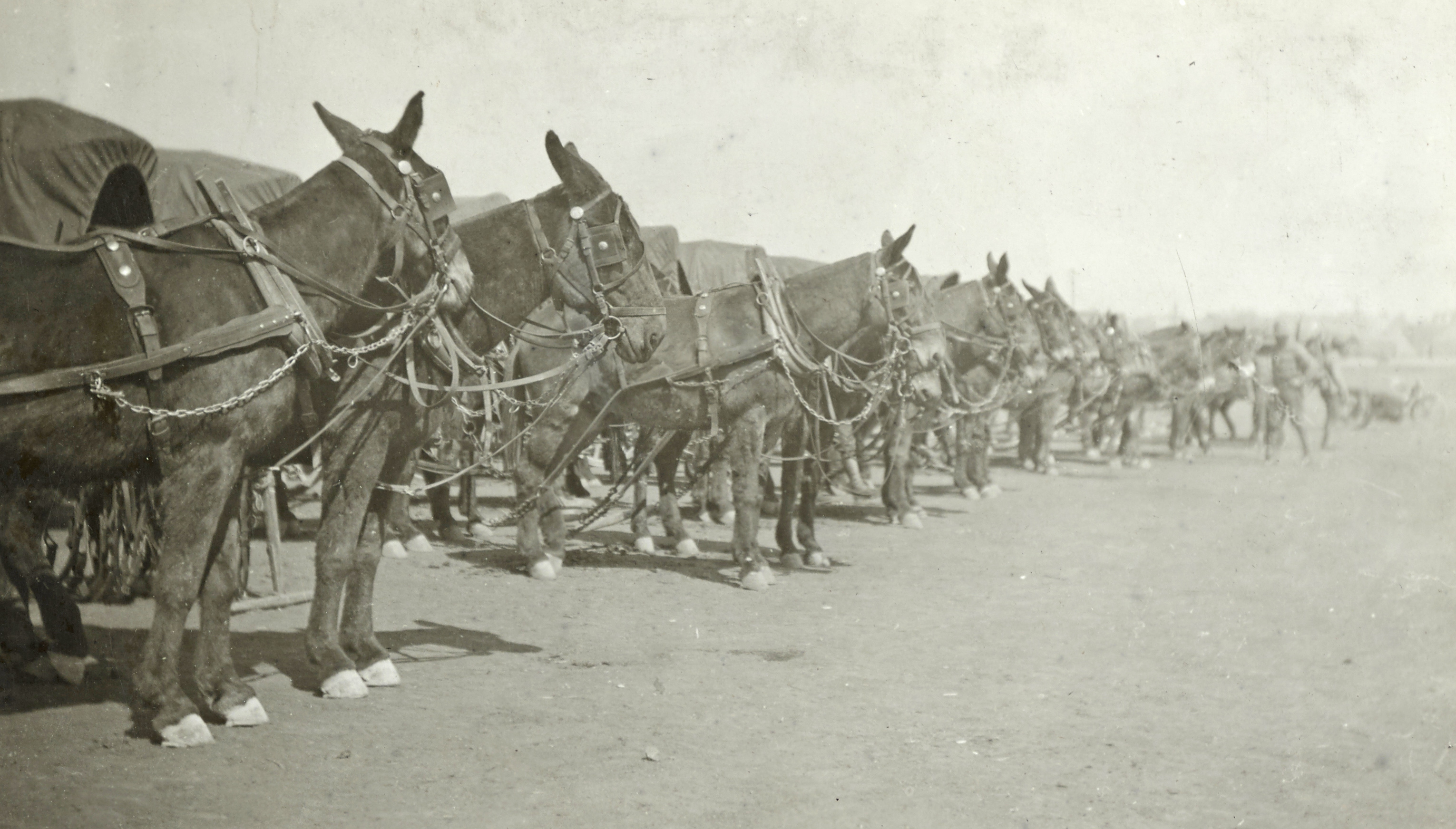inspection of mules and wagons Camp Devens MA