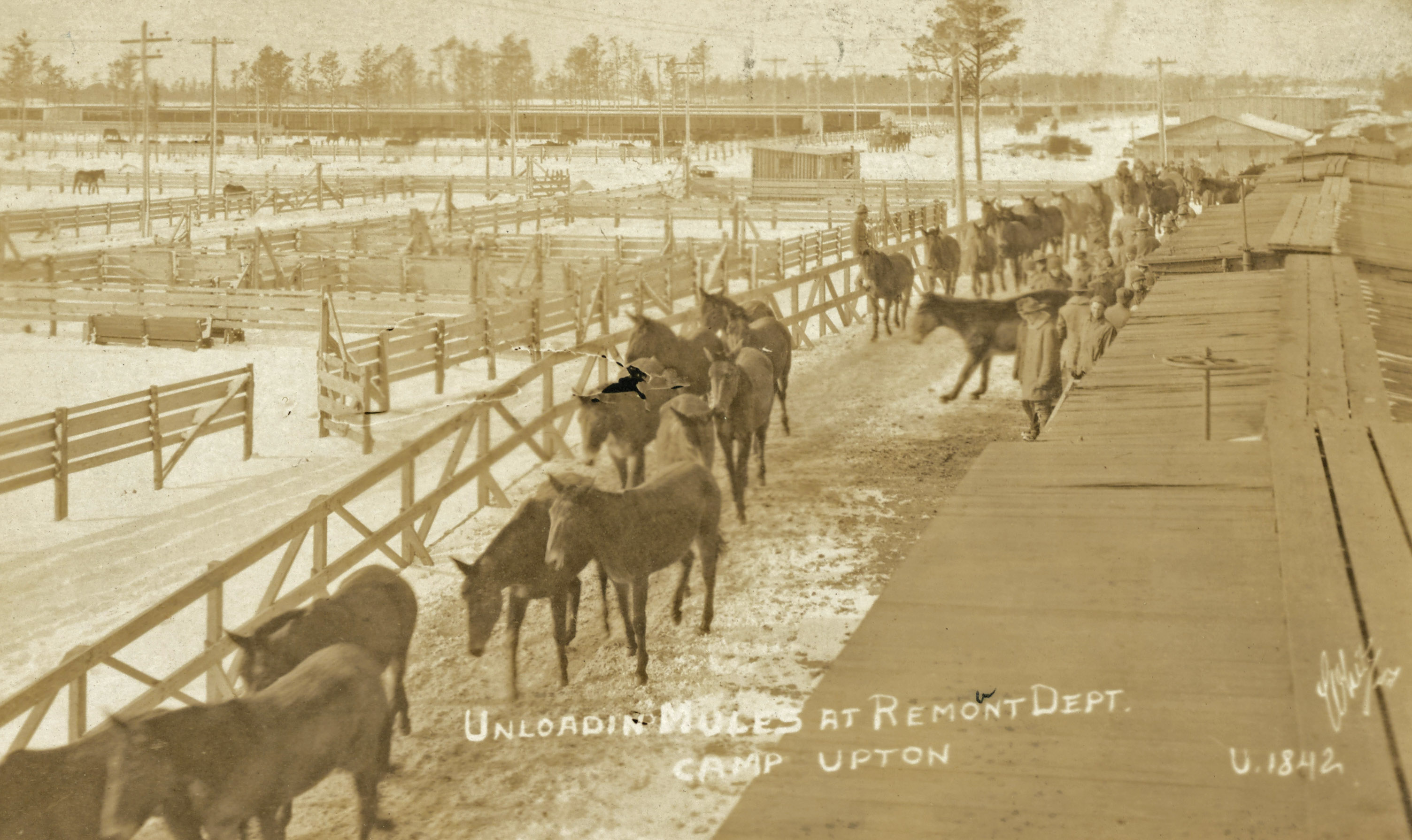 unloading mules at Camp Upton Long Island