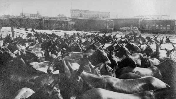 NN unloading mules into pens from train