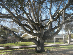 The Monterey California Memorial Oak Tree planted circa 1919
